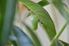 Farfalla di monarca Chrysalis fotografia stock