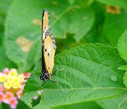 Farfalla di monarca con le ali chiuse che si siedono sulla foglia verde Fotografia Stock Libera da Diritti