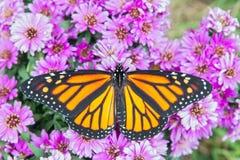 Farfalla di monarca con le ali spante Fotografia Stock