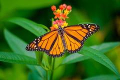 Farfalla di monarca con le ali spante largamente fotografie stock libere da diritti