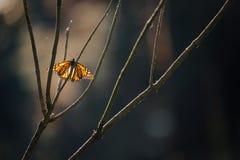 Farfalla di monarca, danaus plexippus, sul ramo di albero nudo Immagini Stock Libere da Diritti