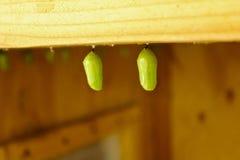 Farfalla di monarca del bozzolo Immagini Stock Libere da Diritti