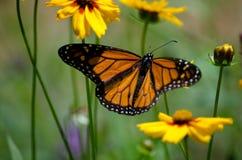 Farfalla di monarca del prato Fotografie Stock Libere da Diritti