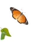 Farfalla di monarca e crisalidi fotografia stock