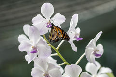 Farfalla di monarca ed orchidea bianca Fotografia Stock