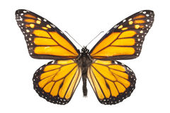 Farfalla di monarca isolata su bianco Immagini Stock Libere da Diritti