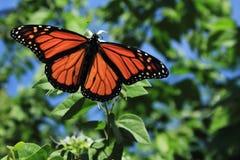 Farfalla di monarca maschio Fotografie Stock Libere da Diritti