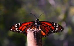 Farfalla di monarca in natura Fotografia Stock Libera da Diritti