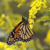 Farfalla di monarca Nectaring sulla verga aurea del Canada Immagini Stock