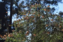 Farfalla di monarca nel selvaggio fotografia stock