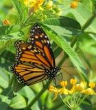 Farfalla di monarca nella caduta fotografie stock