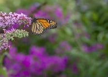 Farfalla di monarca (plexippus del Danaus) fotografia stock
