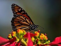 Farfalla di monarca in priorità alta Fotografie Stock