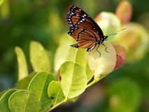 Farfalla di monarca regale Fotografia Stock Libera da Diritti