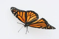 Farfalla di monarca su priorità bassa bianca Immagini Stock Libere da Diritti