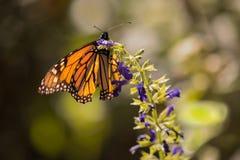 Farfalla di monarca su Salvia porpora Fotografia Stock Libera da Diritti