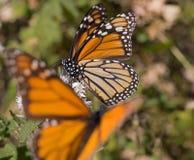 Farfalla di monarca sul fiore bianco Fotografia Stock