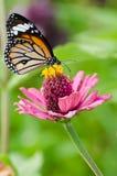 Farfalla di monarca sul fiore di Zinnia Immagini Stock