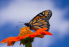 Farfalla di monarca sul fiore di Zinnia fotografia stock libera da diritti