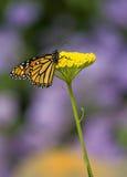 Farfalla di monarca sul fiore giallo Fotografie Stock Libere da Diritti