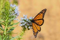 Farfalla di monarca sul fiore porpora di echium immagini stock