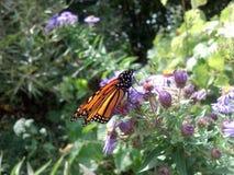 Farfalla di monarca sul fiore viola Immagini Stock Libere da Diritti