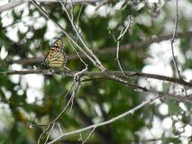 Farfalla di monarca sul ramo immagini stock