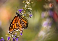 Farfalla di monarca sul salvia porpora con fondo vago Immagine Stock