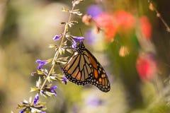 Farfalla di monarca sul salvia porpora con fondo vago Immagine Stock Libera da Diritti