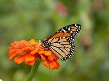Farfalla di monarca sulla zinnia Immagini Stock