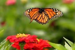 Farfalla di monarca in volo fotografia stock libera da diritti