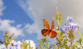 Farfalla di monarca in Wing Spread pieno Immagine Stock Libera da Diritti