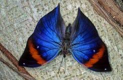 Farfalla di Morpho Fotografie Stock Libere da Diritti