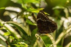 Farfalla di morpho di Achille appollaiata sulla foglia variegata Fotografia Stock Libera da Diritti