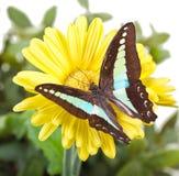 Farfalla di moscone azzurro della carne Immagine Stock