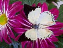 Farfalla di Nawab del gioiello Immagine Stock