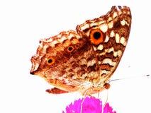 Farfalla di notte immagine stock
