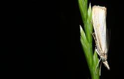 Farfalla di notte Fotografie Stock Libere da Diritti
