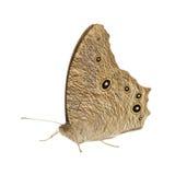 Farfalla di notte Immagini Stock Libere da Diritti
