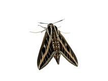 Farfalla di notte Immagini Stock