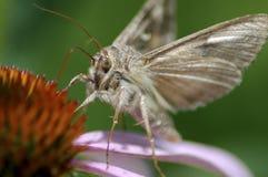 Farfalla di notte durante il giorno fotografia stock libera da diritti