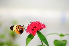 Farfalla di Numata Longwing Fotografia Stock