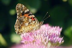 Farfalla di nymphalidae immagini stock libere da diritti