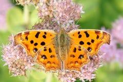 Farfalla di nymphalidae Fotografie Stock