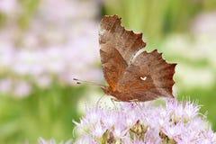 Farfalla di nymphalidae fotografia stock libera da diritti