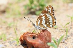 Farfalla di nymphalidae Immagini Stock