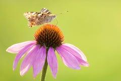 Farfalla di nymphalidae Fotografia Stock