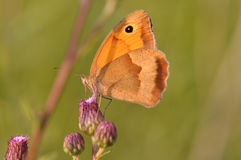 Farfalla di pamphilus di Coenonympha Immagine Stock Libera da Diritti