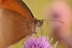 Farfalla di pamphilus di Coenonympha Immagini Stock Libere da Diritti