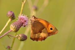 Farfalla di pamphilus di Coenonympha Fotografie Stock